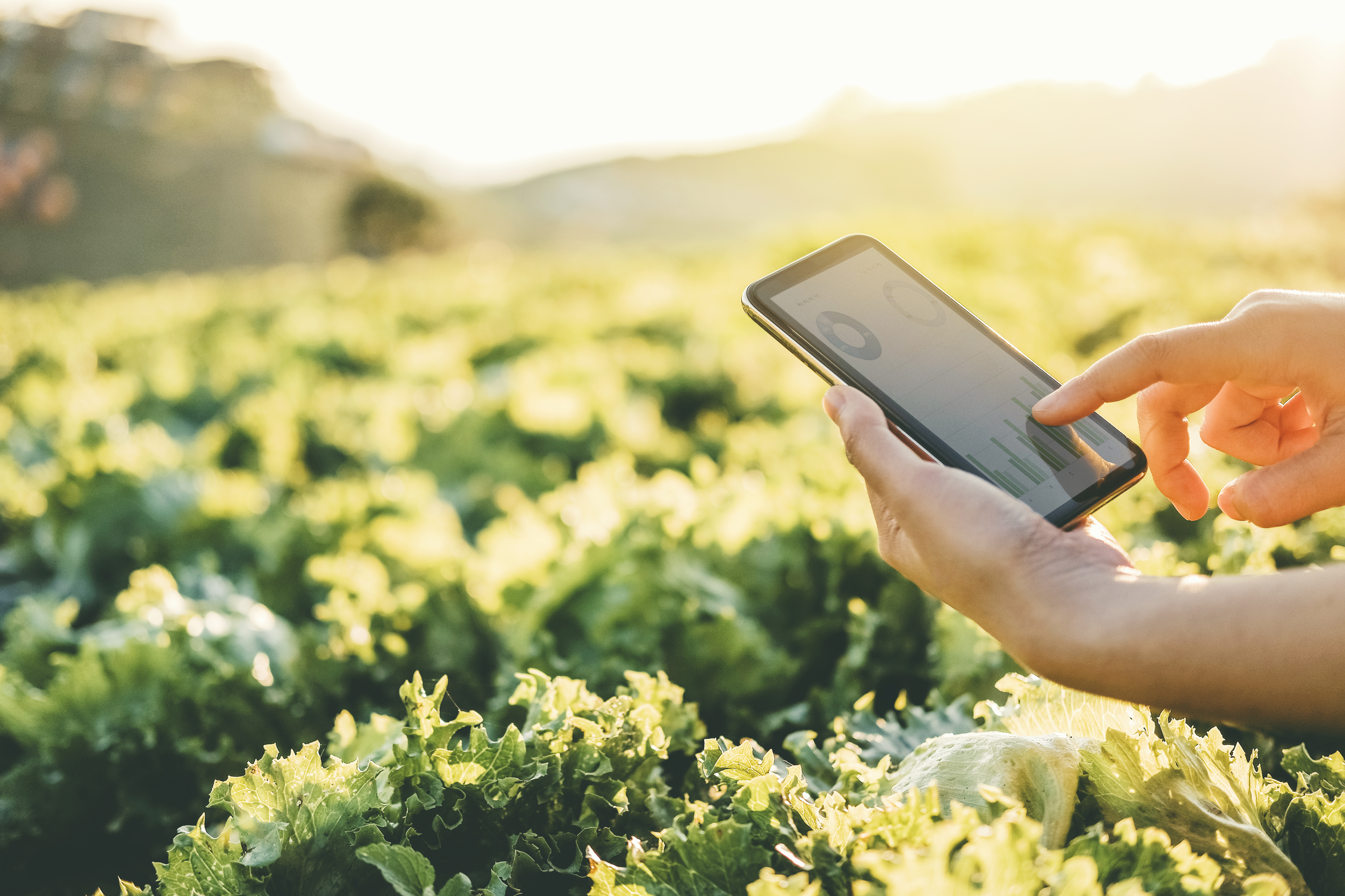 A hand holding a mobile telephone in a crop field