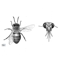 Honey bee illustration, by Pandora Dewan