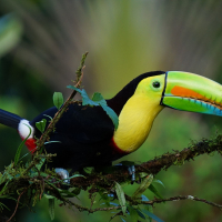 Keen-billed toucan in Costa Rica rainforest